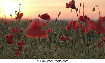 Flowering red poppies