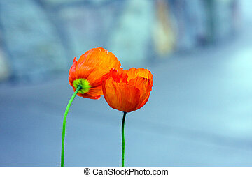 2 orange flowers with blurred blue background