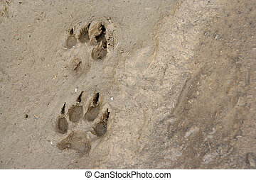 pawprints - 2 pawprints of a dog in mud