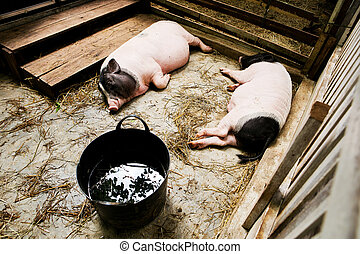 2 pig lying in the stall.