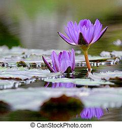 2 purple water lilies