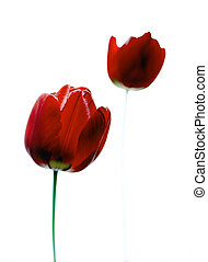 2 red tulips on a white background.