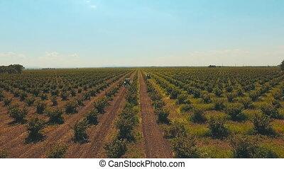 2 tractors work the land on the plantation of hazelnut