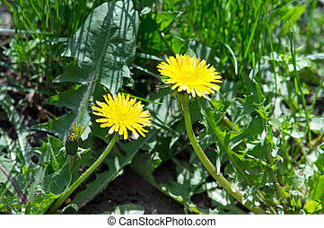 2 yellow dandelion flower