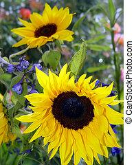 2, zonnebloemen