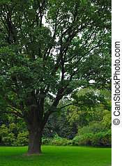 200-years old oak in a park