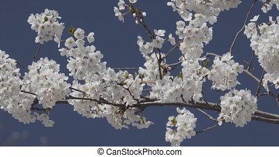 2018 Cherry Blossoms at Peak Bloom. 4K UHD.