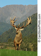 21 pointer - 21 point red deer stag rated at 430 SCI, West...