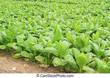 29, tabaco, cultivado
