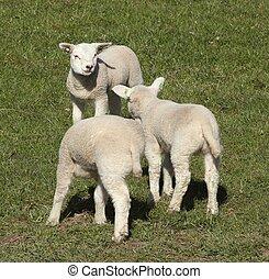 3, わずかしか, 子羊, 中に, ∥, 牧草地