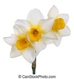 3, 茎, 単一, yellow-cupped, 白い花, jonquil