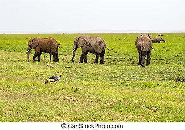 3, 象, ∥で∥, a, 皇族, クレーン, 中に, 前景, 中に, ∥, サバンナ, の, amboseli,...