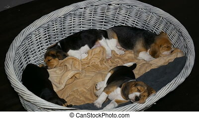 3 beagle puppyies in the basket for dogs