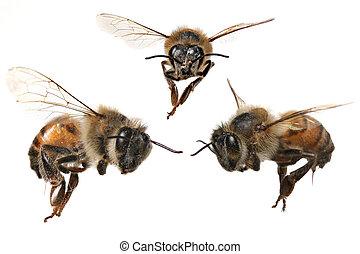 3, diferente, ángulos, de, un, norteamericano, abeja miel