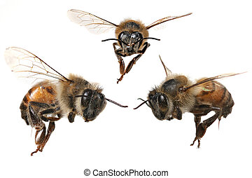 3 Different Angles of a North American Honey Bee With...