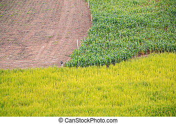 3 different crops filed, corn, rice