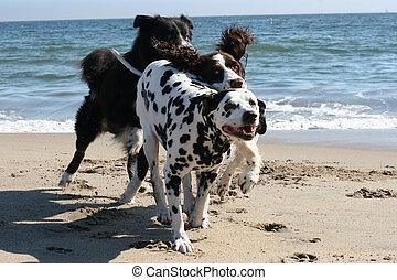 3 dogs running on the beach