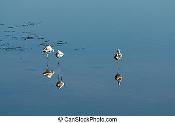 3 flamingos resting in water
