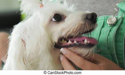 3-Girl Examining Teeth Dental Hygiene Of Pet Dog - Pets,...