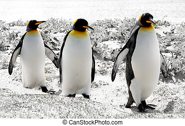 3 Kings - 3 King Penguins in the Falkland Islands