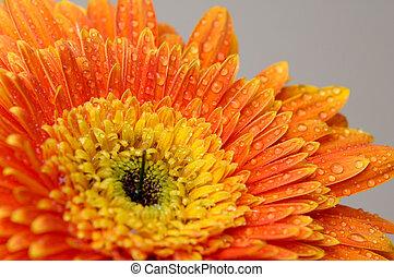 3, margarita de flor
