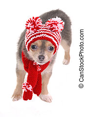 3 month old chihuahua puppy dressed for cold winter walk