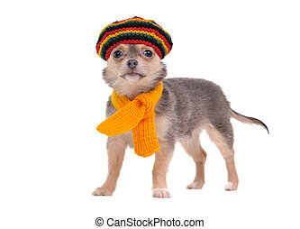 3 month old chihuahua puppy with rastafarian hat and yellow scarf