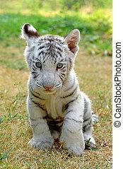3 month white tiger in chiang mai night safari