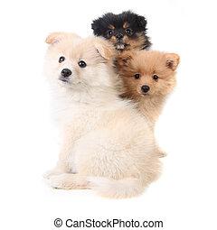 3, pomeranian, hundebabys, sitzen zusammen, weiß, hintergrund