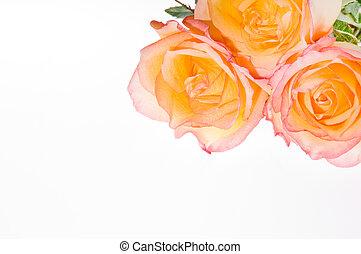3 roses over white