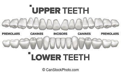 3, tænder, sæt, vector., menneske, øvre, og, hale ned,...