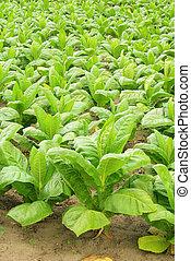 30, tabaco, cultivado