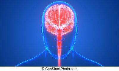 3d, übertragung, koerperbau, intern, menschliche , system, röntgenaufnahme, gehirn, nervös, organ