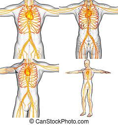 3d, übertragung, medizinische abbildung, von, der, menschliche , vaskuläres system