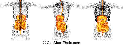 3d, übertragung, medizinische abbildung, von, der, menschliches verdauungssystem