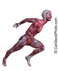 3d, 肌肉, 模型