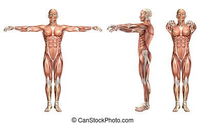 3d, abduzione, medico, orizzontale, figura, spalla,...