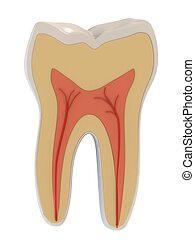 3d, anatomía, dental, dentista, salud, ilustración, médico, pulpa, raíces, ciencia, diente, vano