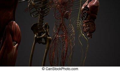 3d, anatomie, animé, illustration, humain