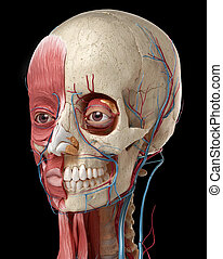 3D anatomy illustration of human head with skull and muscles.