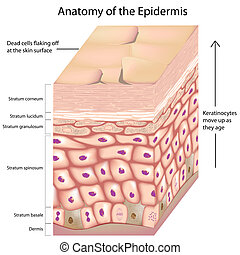 layers of the skin epidermis with keratinocytes moving up as they age