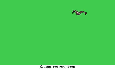 flying Great American Horned Owl on green screen