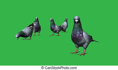 Pigeons eat- separated on green screen - 3d animation of...