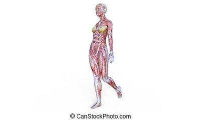 3D CG rendering of muscle woman