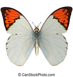 Great Orange Tip - 3D digital render of a Great Orange Tip...