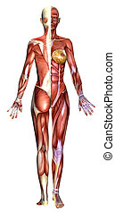 3D female body anatomy - 3D female figure with half body...