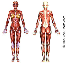 3D  female body anatomy isolated on white