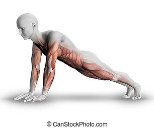 3d, figura masculina, com, parcial, músculo, mapa, em, ioga...