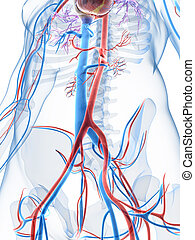 3d, geleistet, abbildung, von, der, menschliche , vaskuläres system