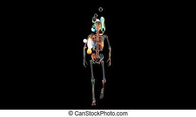 3d, homme, concept, anatomie, marche, xray